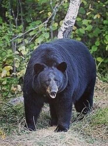 """بعدما صدرت الوباء للعالم.. الصين تلجأ لـ """"الدب الأسود"""" للقضاء على كورونا !"""